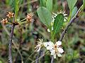 Prunus pumila 5473491.jpg