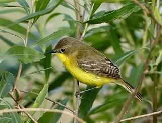 Dinellis doradito species of bird