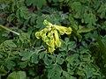 Pseudofumaria lutea 2016-04-22 8534.jpg