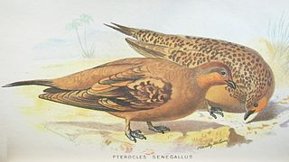<i>Pterocles</i> Genus of birds
