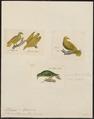 Ptilinopus luteovirens - 1700-1880 - Print - Iconographia Zoologica - Special Collections University of Amsterdam - UBA01 IZ15600053.tif