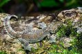 Ptychozoon lionotum, Smooth-backed gliding gecko.jpg