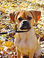 Puggle portrait new.jpg