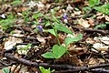 Pulmonaria obscura in nature reserve Skocicky hrad in spring 2013.JPG