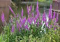 Purple Loosestrife Lythrum salicaria - Flickr - gailhampshire.jpg