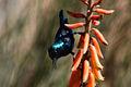 Purple sunbird (cinnyris asiaticus).jpg
