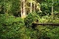 Puszcza białowieska fragmenty rezerwatu ścisłego a6.JPG