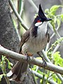 Pycnonotus jocosus (1).jpg