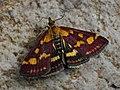Pyrausta purpuralis - Огнёвка пурпурная (43890545591).jpg