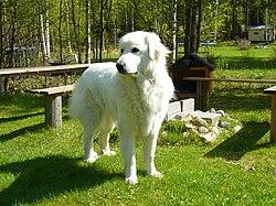 Swiss Rescue Dog Breed