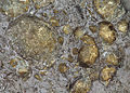 Pyritized brachiopods (Silica Formation, Middle Devonian; quarry in Sylvania area, Lucas County, northwestern Ohio, USA) (15522841836).jpg