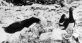 Queensland State Archives 1024 Gannets and Young on Lady Musgrave Island Bunker Group Great Barrier Reef c 1931.png