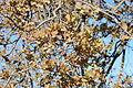 Quercus douglasii-10.jpg