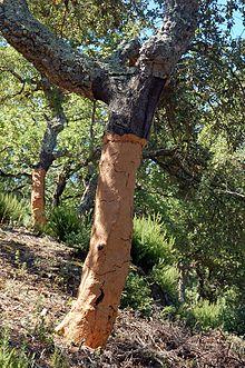 Quercus suber Cork Oak PFAF Plant Database