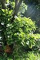 Quercus pontica kz3.jpg