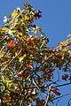 Quercus shumardii 12zz.jpg