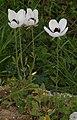 Ranunculus asiaticus RF.jpg