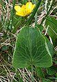 Ranunculus thora a1.jpg
