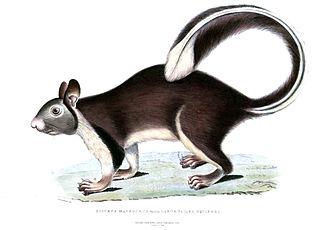 Grizzled giant squirrel - Illustration of Ratufa macroura
