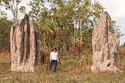 . These termite mounds have a base shaped like the base of a tree, about two meters wide and a meter high. From this base, rounded chimneys from half a meter to a meter in diameter rise to a total height of about four or five meters. The chimneys are fused together with ridges between, and terminate in rounded pinnacles at the top.