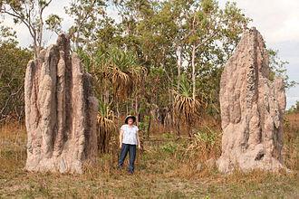 Blattodea - Cathedral termite mounds, Northern Territory, Australia