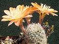 Rebutia mudanensis 2.jpg
