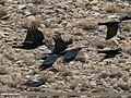 Red-billed Chough (Pyrrhocorax pyrrhocorax) (34005361045).jpg