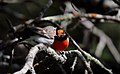 Red-capped Robin (Petroica goodenovii) (31049691900).jpg