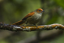 Red-faced Spinetail - Colombia S4E4386.jpg