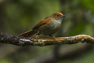 Red-faced spinetail species of bird
