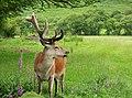 Red Deer Cervus elaphus male (24248253677).jpg
