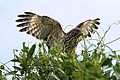 Red Shouldered Hawk-Take Flight, NPSphoto, G.Gardner (9101519106).jpg