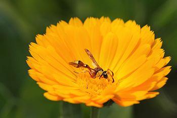 Red bee on flower.jpg