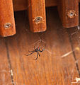 Redback Spider on deck.jpg