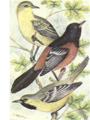 Reed-arizona-hooded-oriole.png