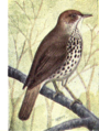 Reed-wood-thrush.png