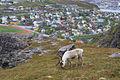 Reindeer near Hammerfest.jpg