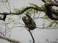 Reserva do Patrimônio Natural Frei Caneca Mauricio Cabral Periquito (4) Bradypus variegatus 05-09-2015.jpg