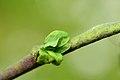Rhabdophaga rosariella on Salix cfr aurita (31800175021).jpg