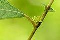 Rhabdophaga rosariella on Salix cfr aurita (31879216306).jpg