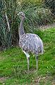 Rhea pennata Parc des Oiseaux 21 10 2015 1.jpg