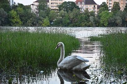 Rheinland-Pfalz, Ludwigshafen am Rhein, Landschaftsschutzgebiet 07-LSG-7314-015 Schwan 006.jpg