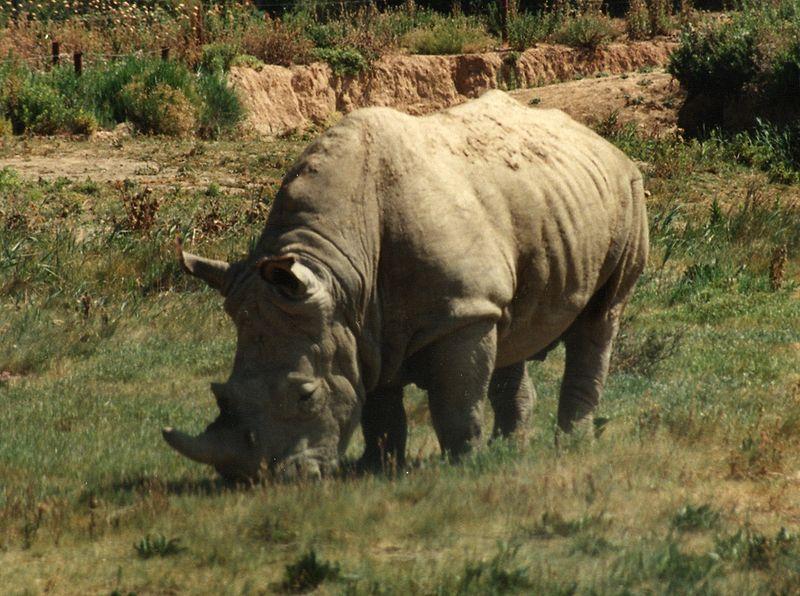 الحيوانات المهدده بالانقراض في العالم 800px-Rhinoceros
