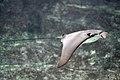 Rhinoptera bonasus Brest.jpg