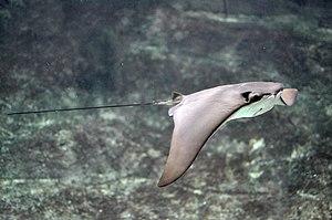 Cownose ray - Image: Rhinoptera bonasus Brest