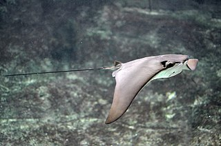 Cownose ray species of fish