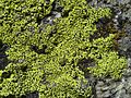 Rhizocarpon riparium - Flickr - pellaea (1).jpg