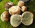 Rhizopogon evadens 527298.jpg