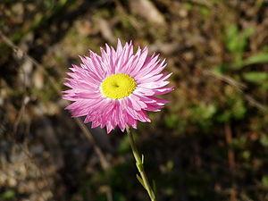 Mingenew, Western Australia - A pink everlasting or Rhodanthe chlorocephala rosea