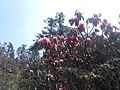 Rhododendron25.jpg
